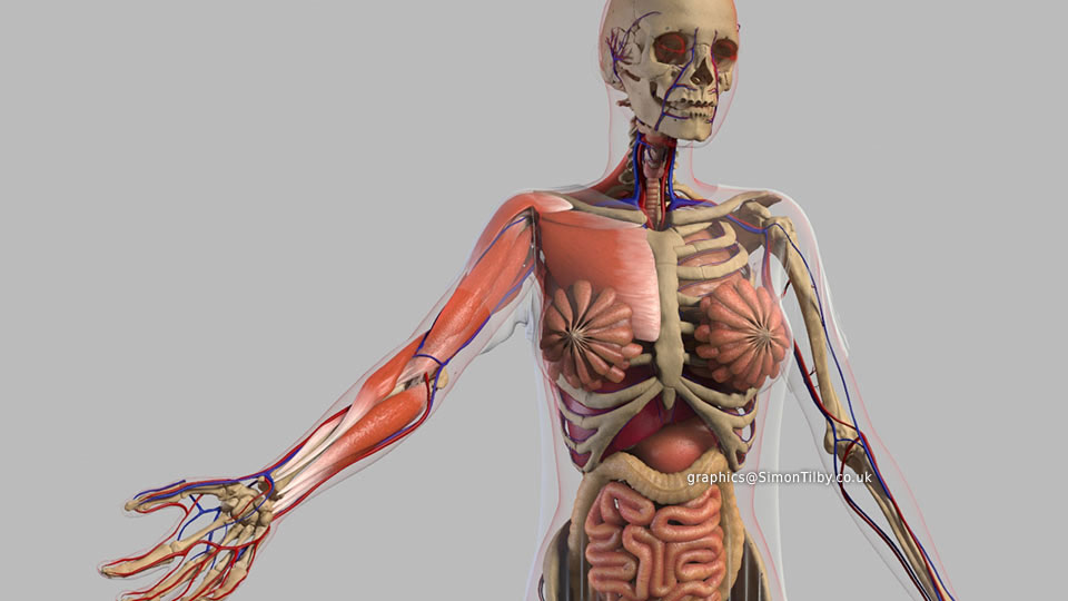 Human Anatomy Animation Simon Til Medical Projects 3d Animation And